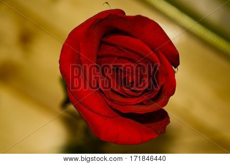 Red rose on wood backround. Green leaves and stem. free place for text.