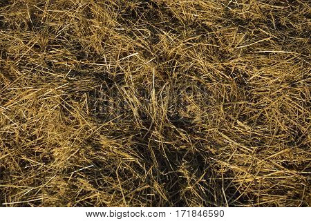 Yellow hay on the field for animals. Winter time. Litter, bedding, dried grass. Texture.