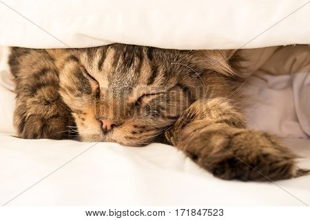 Closeup of a golden black tabby brown tabby Maine Coon cat face sleeping in bed under two layers of cream colored duvet with one paw stretched out. Shallow depth of field. Focus on the nose.