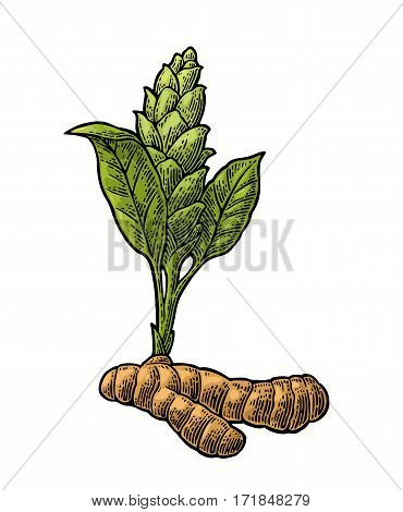 Turmeric root and flower. Hand drawn vector color vintage engraved illustration. Isolated on white background.