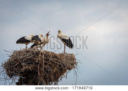 Stork with baby birds in the nest. Summer blue sky. Stork.