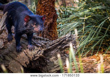 Tasmanian Devil, a rare predator living only in Tasmania, Australia