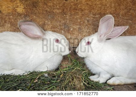 White rabbits looking to each other in the cage