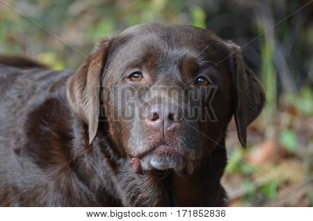 Adorable face of a chocolate labrador retriever dog.