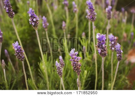 Close-up of some lavender flowers in a garden.