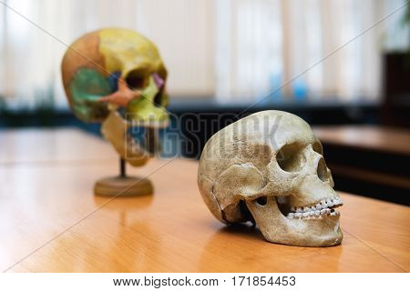 training - the human skull on the table. educational skull