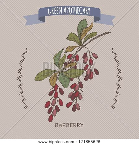 Color Berberis vulgaris aka common barberry sketch. Green apothecary series. Great for traditional medicine, gardening or cooking design.