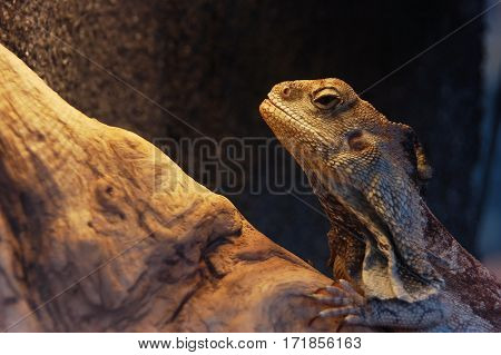 Frilled Neck Lizard (chlamydosaurus Kingii)