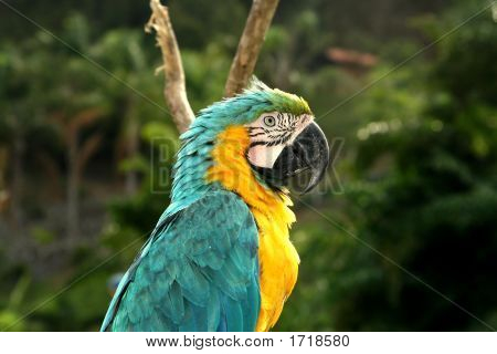 Macaw, Blue And Yellow