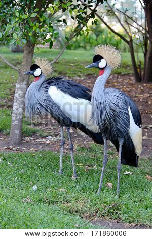 Grey crowned cranes in Knysna, South Africa