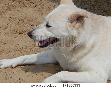 White Shepard Mix, Female Dog, Family Pet