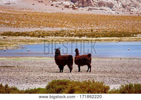 Brown lhamas in Salar de Tara, Atacama desert, Chile