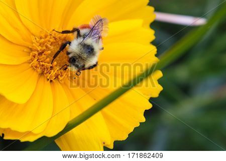 A bee collecting nectar from a yellow coreopsis flower with its proboscis