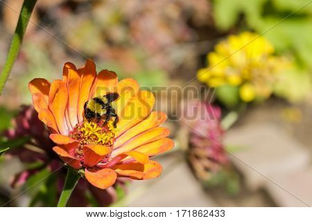 A bee feeding on a zinnia flower with its proboscis