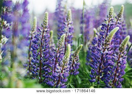 purple lupine flowers in green grass. Ukraine. Europe