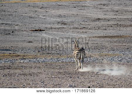 Zebra running and making the dust fly Etosha National Park in Namibia