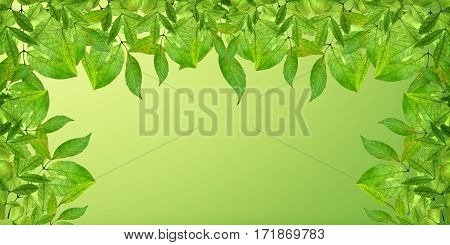 Close-up of Spring greens. Deciduous ornamental. Panorama. Background. Young fresh tender leaves on the branches. Foliage.