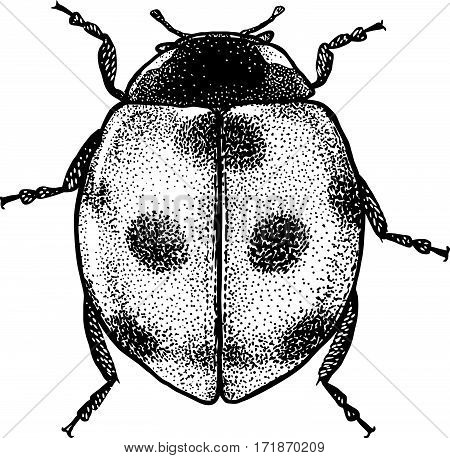 Ladybug illustration, engraving, drawing, ink, insect, bug