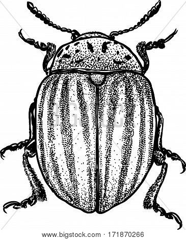 Colorado beetle illustration, engraving, drawing, ink, insect