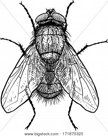 Fly illustration, engraving, drawing, ink, realistic, insect