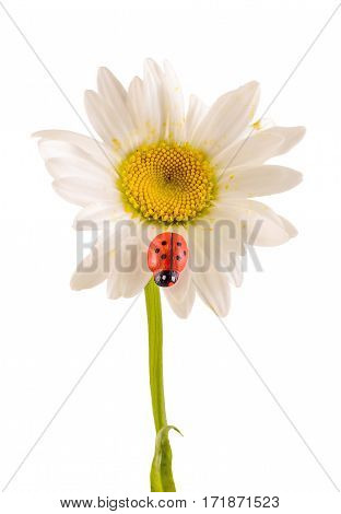 Leucanthemum Vulgare, The Ox-eye Daisy Or Oxeye Daisy (syn. Chrysanthemum Leucanthemum), With Ladybu