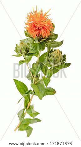 Vivid Orange Wild Flower, Safflowers, Daisys, Close Up, Isolated Background