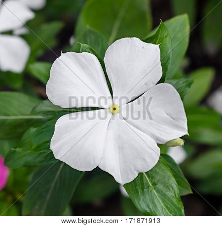 White Impatiens Flower, Common Names Include Jewelweed, Touch-me-not, Snapweed.