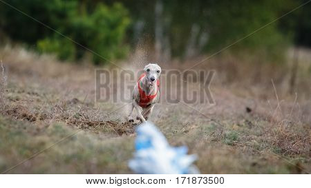 Small Dog Italian Greyhound Pursues Bait In The Field