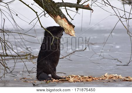 european beaver in wildlife nature in Otrokovice,Czech republic