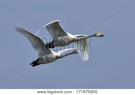 cygnus cygus swan in flight against blue sky