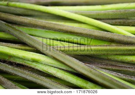 Horizontal stalks of green young bracken fern
