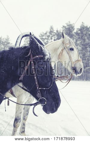Black And White Horses Heads On The Winter Forest Background