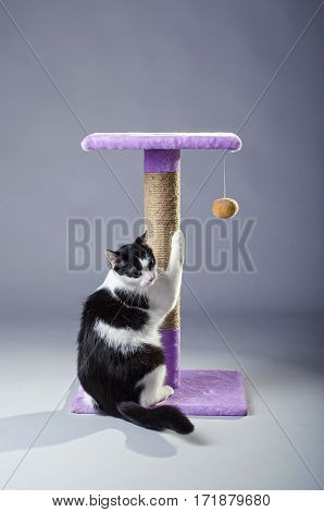 Black And White Cat Sharpening Its Claws On A Scratching Post, On A Gray Background.