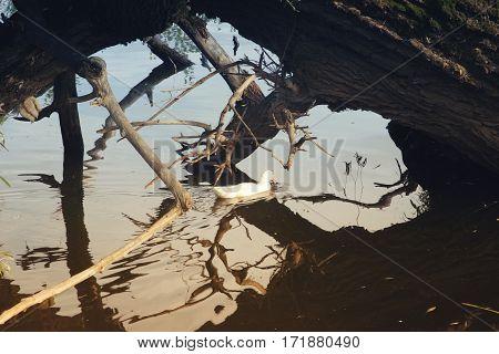 Duck, Passing In Pond Under A Fallen Tree