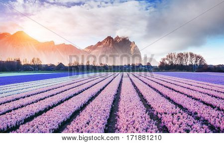 Composition hyacinth fields in Holland and beautiful mountains in the mist at sunset. Art photography