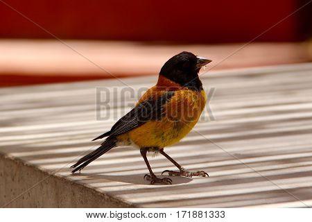 Beautiful orange and black bird in Atacama desert, Chili