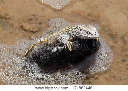 Lizard (Liolaemus fabiani) climbing a rock in Salar de Atacama
