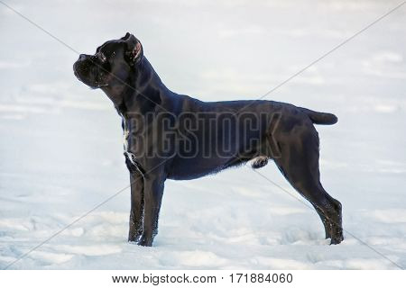 Italian Cane Corso black color on a white background. Side view