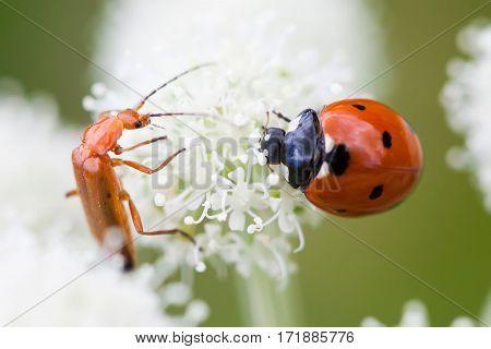 Ladybug beetle on white flower petal. Macro view selective focus photo