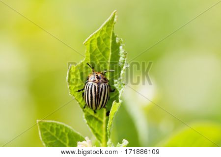 Colorado potato beetle on damaged green leaf. Macro view, shallow depth of field. selective focus photo