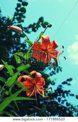 Orange Tiger Lilies On Background Of Branches And Turquoise Sky