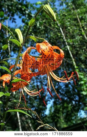 Bright Orange Tiger Lily On Background Of Sky And Trees