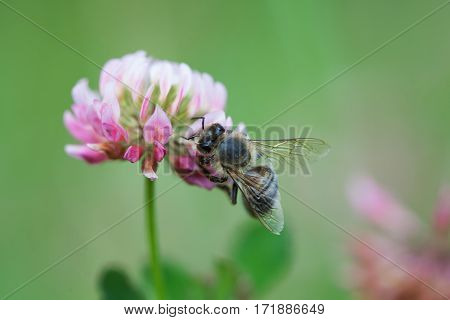 Honey bee pollinating clover flower. Macro view violet petal and insect searching nectar. Shallow depth of field, selective focus photo