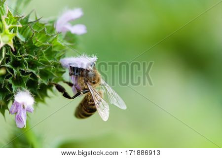 Honey bee pollinating spring flower. Macro view violet petal and insect searching nectar. Shallow depth of field, selective focus photo