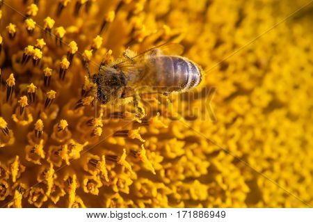 Honey bee pollinating flower. Macro view sunflower seeds and insect searching nectar. Shallow depth of field, selective focus