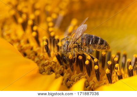 Honeybee pollinating sunflower. Macro view flower seeds and insect searching nectar. Shallow depth of field, selective focus photo