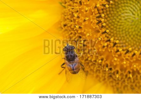 Hoverfly Eristalis on sunflower plant macro view pollination. Yellow petals flower with fly. Shallow depth of field, selective focus photo