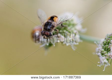 Hoverfly Eristalis bee on wild flower plant macro view. Shallow depth of field, selective focus photo