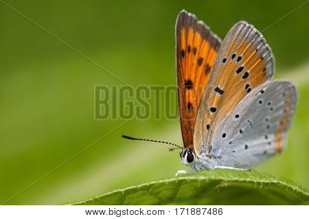 Butterfly macro view. Blue orange gossamer-winged Polyommatus icarus on greenery leaf background, macro view shallow depth field