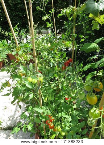 Tomato plant in biologic garden without pesticides